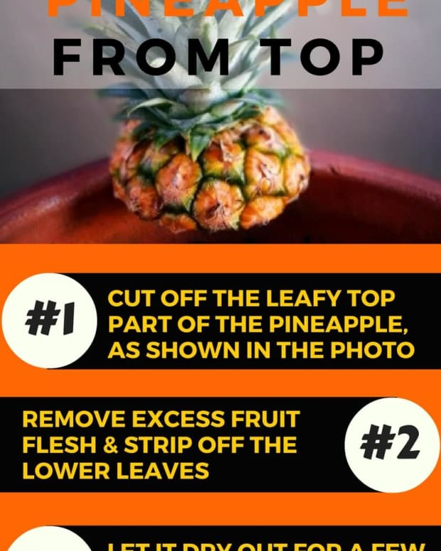 plant-grow-pineapple-top-in-5-easy-steps-with-photos