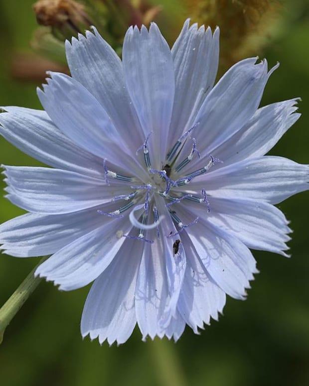 wild-flowers-chicory