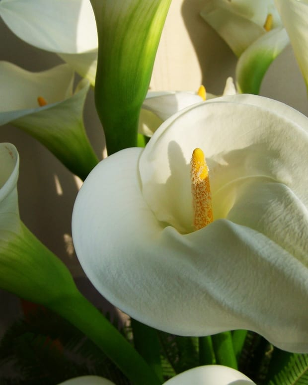 how-to-care-for-calla-lilies