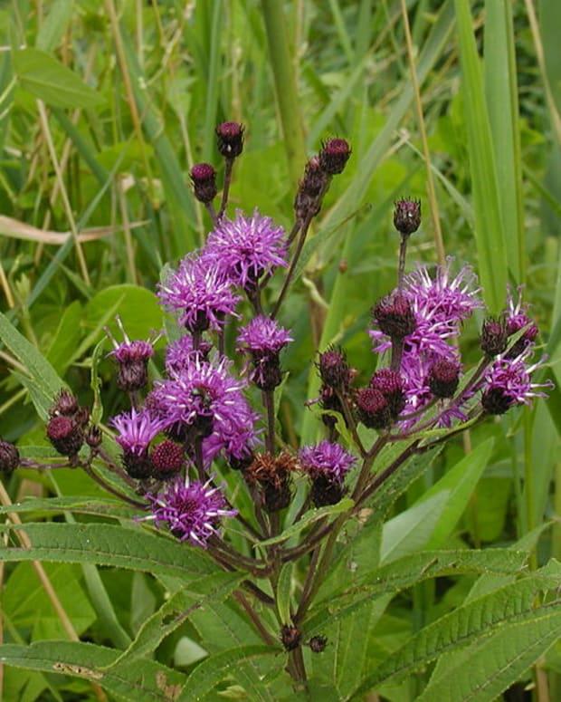 how-to-grow-new-york-ironweed