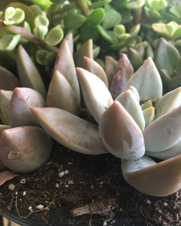 how-to-propagate-succulents