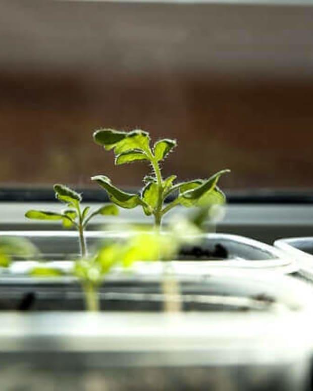 planting-tomato-seeds