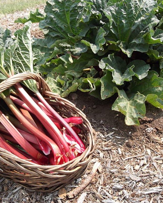 how-to-grow-rhubarb-a-perennial-vegetable