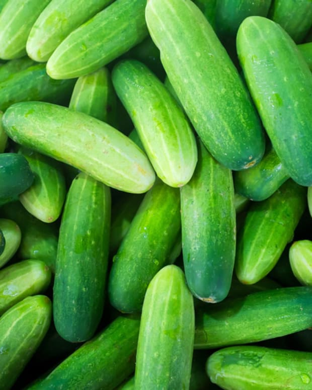 growing-cucumbers-how-to-grow-cucumbers-plants