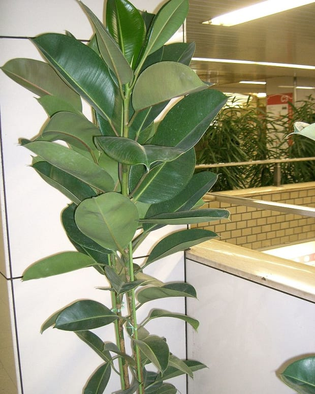 how-to-grow-rubber-plants-indoors-or-outdoors