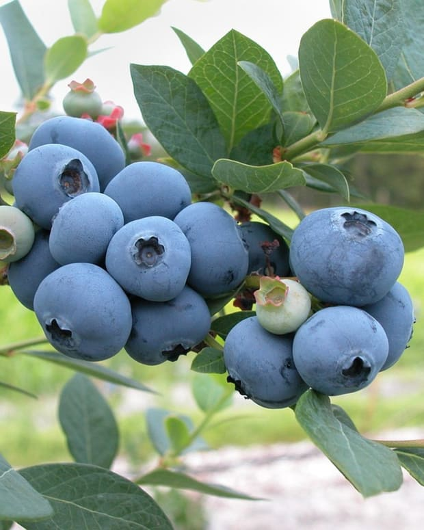 how-to-grow-blueberries-a-native-berry