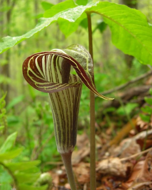 how-to-grow-jack-in-the-pulpit-a-native-woodland-plant