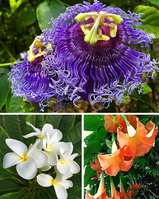14-easy-to-grow-fragrant-tropical-flowering-plants