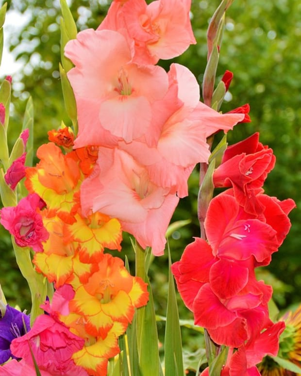 how-to-grow-gladiolus-sword-lilies