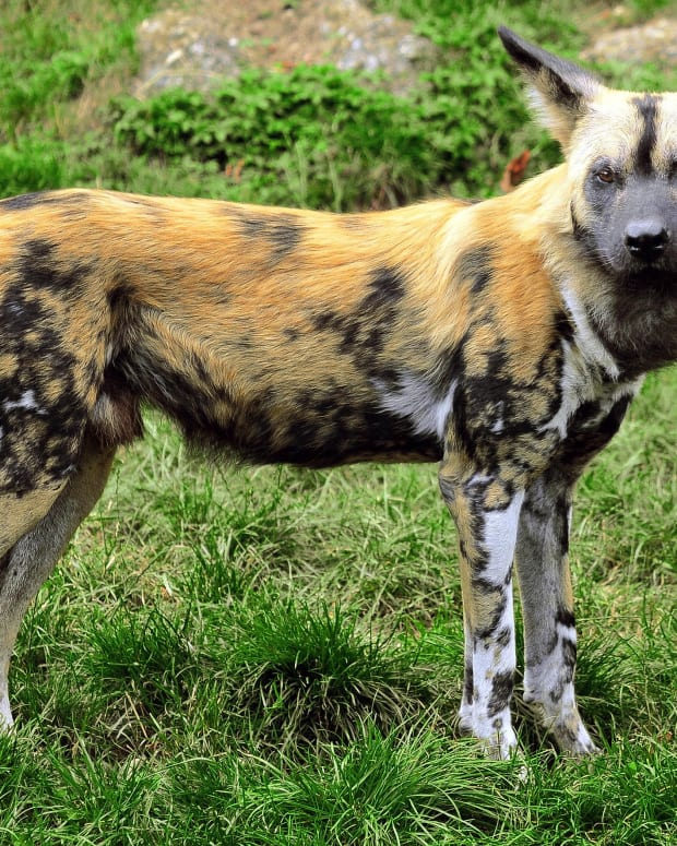 african-wild-dogs-or-painted-dogs-facts-and-videos