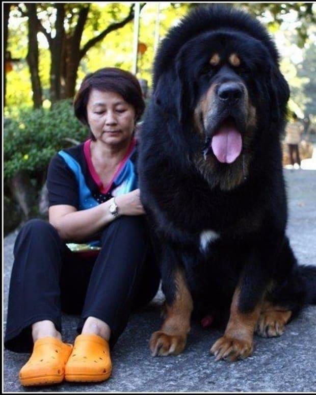 10-largest-dog-breeds