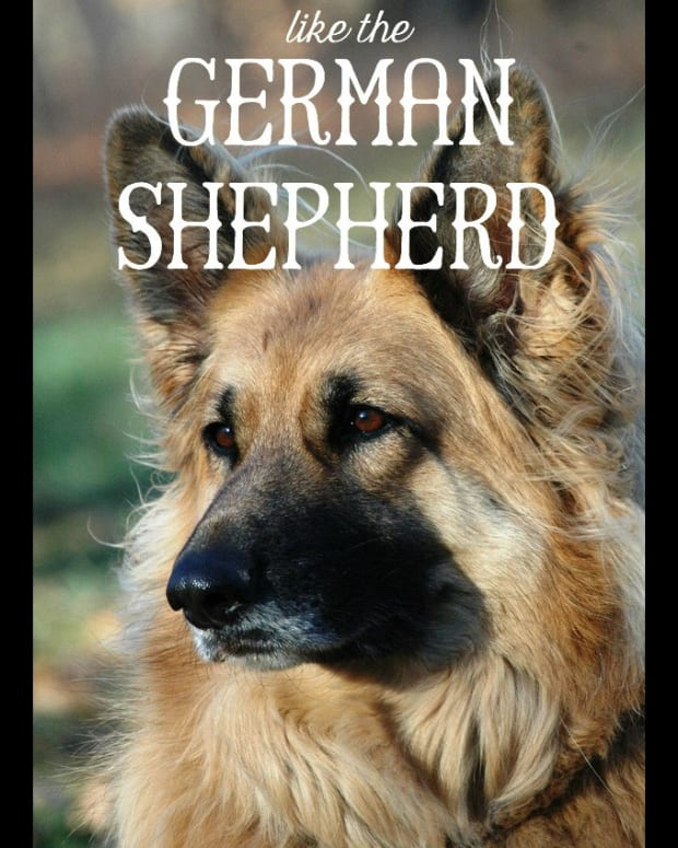 11-dogs-like-german-shepherd