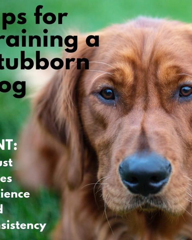 simple-dog-training-for-stubborn-dogs