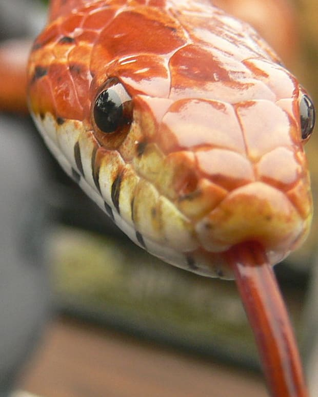 introduction-to-keeping-corn-snakes-as-pets