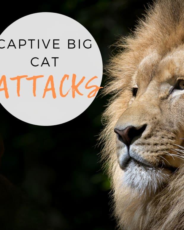 big-cat-attacks-usa
