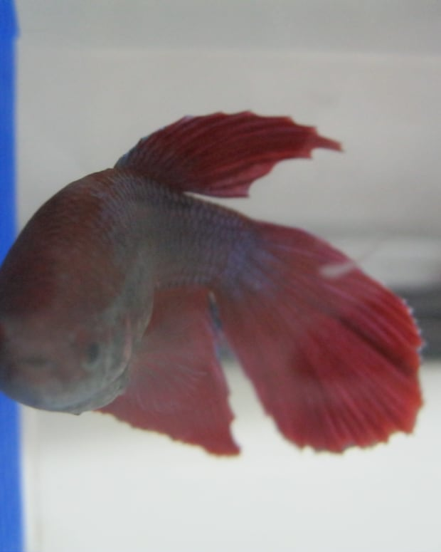 diseases-of-a-betta-fish