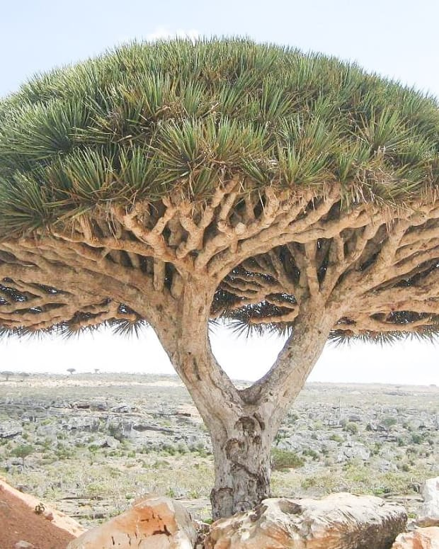 the-dragon-blood-tree-of-socotra-island-dracaena-cinnabari