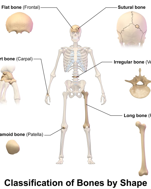 interesting-and-surprising-facts-about-the-human-skeleton