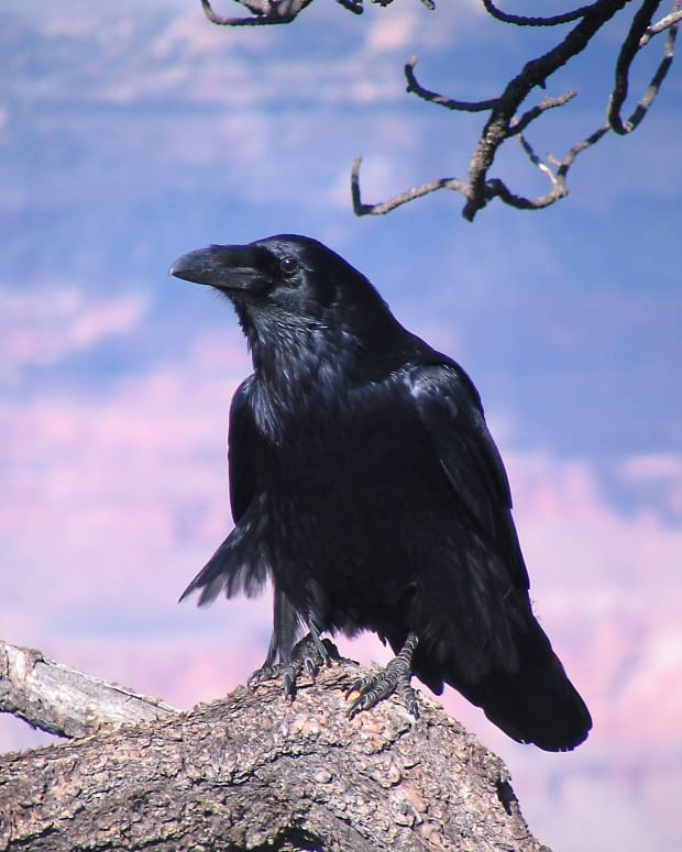 raven-facts-photos-and-videos-revelation-on-the-mountain