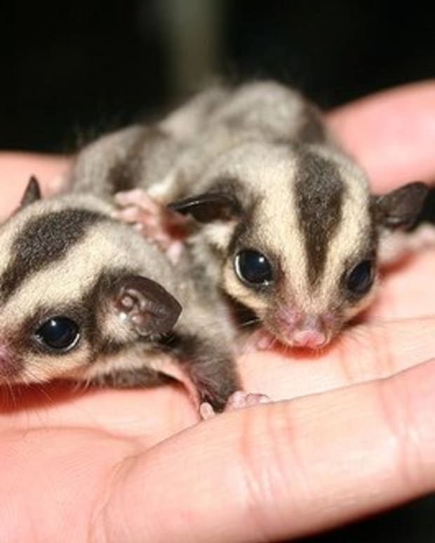 reasons-why-sugar-gliders-should-not-be-kept-as-pets