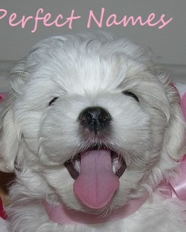 perfect-names-for-a-coton-de-tulear