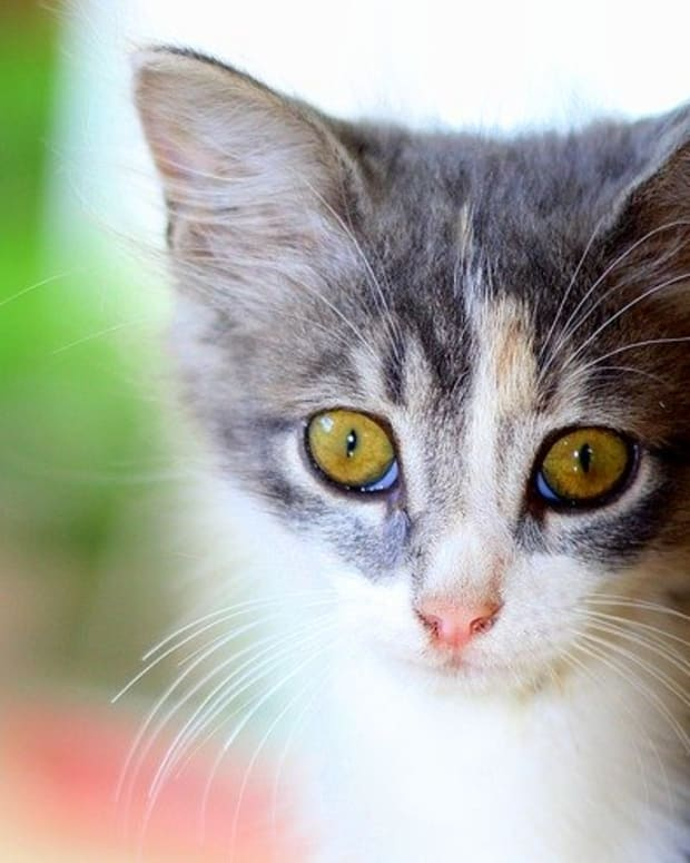 eye-infections-in-cats-types-symptoms-causes-diagnosis-and-treatment