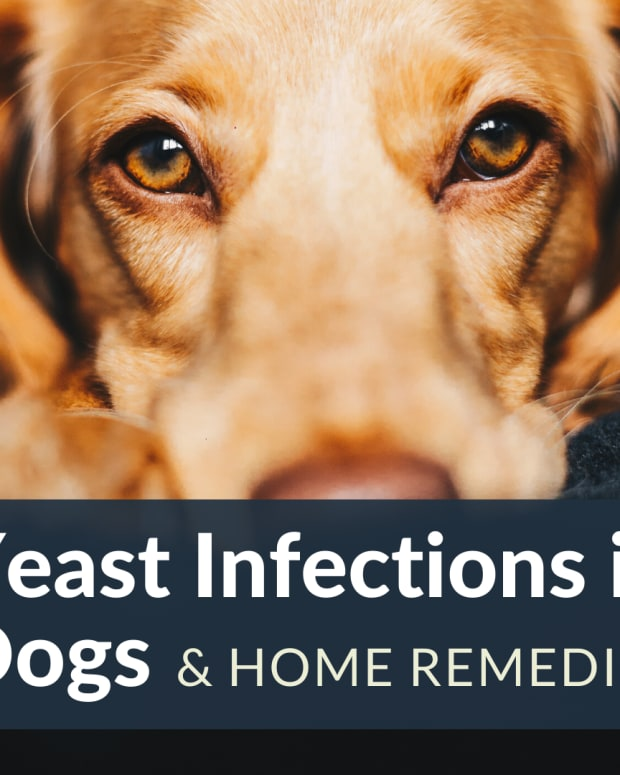 itching-scratching-dog-it-could-be-yeast-try-these-simple-cheap-ideas-to-help-stop-the-dogs-sore-skin