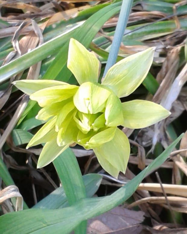 the-ugliest-daffodil-in-the-world-the-derwydd
