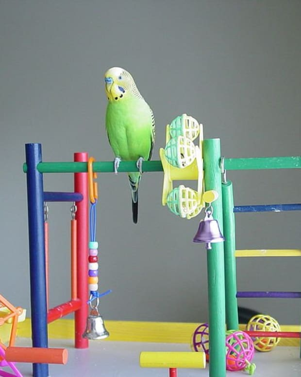 how-to-care-for-a-pet-budgie