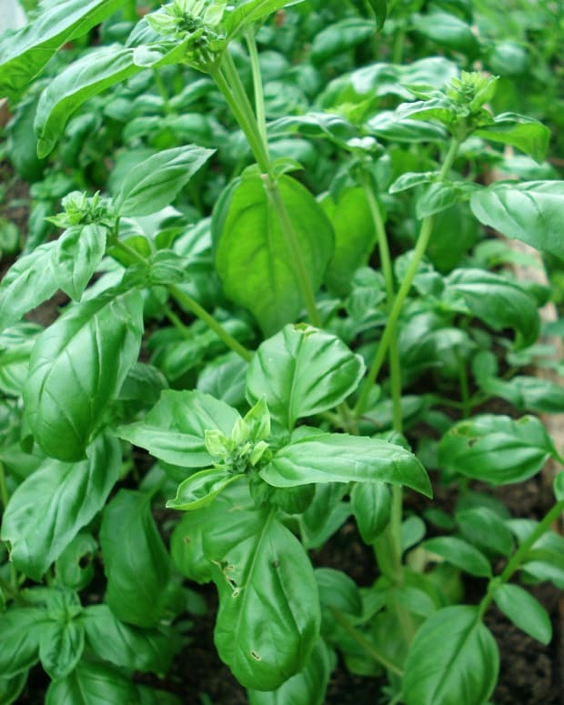 all-about-herbs-basil