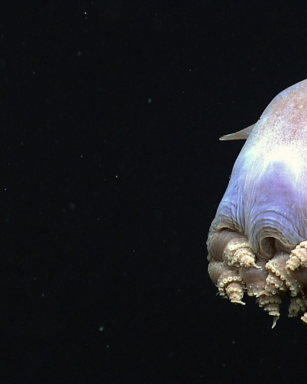 fascinating-facts-about-octopuses-adorable-dumbo-and-alien
