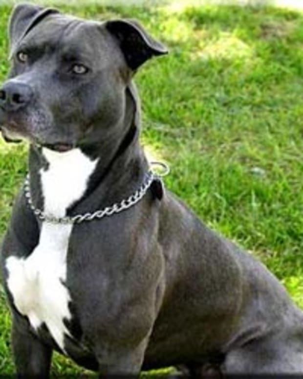 10-breeds-most-commonly-mistaken-for-pit-bulls