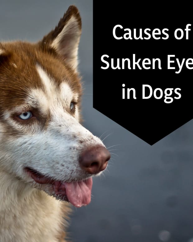 why-do-my-dogs-eyes-look-sunken-in