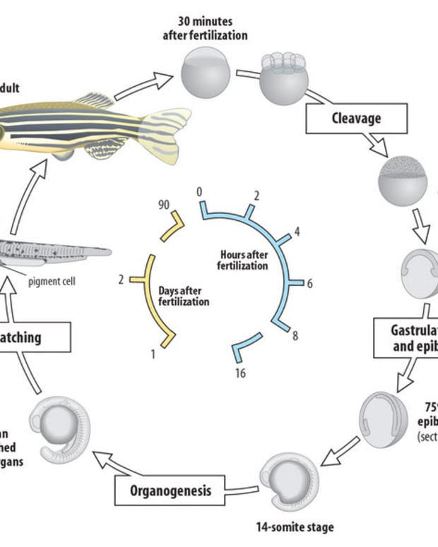the-why-and-how-of-breeding-zebrafish-for-research
