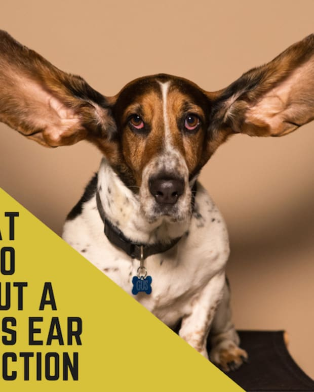 recurrent-otitis-externa-in-dogs