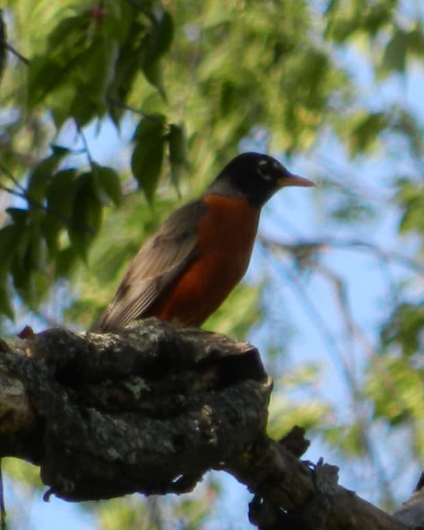 american-robin-facts