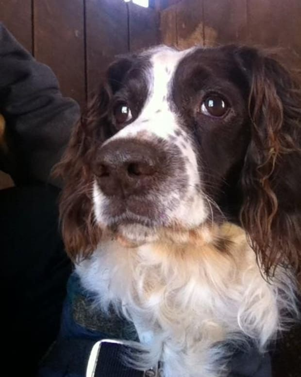 read-all-about-it-the-english-springer-spaniel