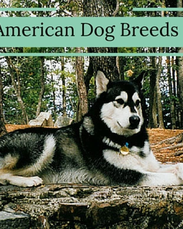 5-dog-breeds-that-originate-in-the-united-states