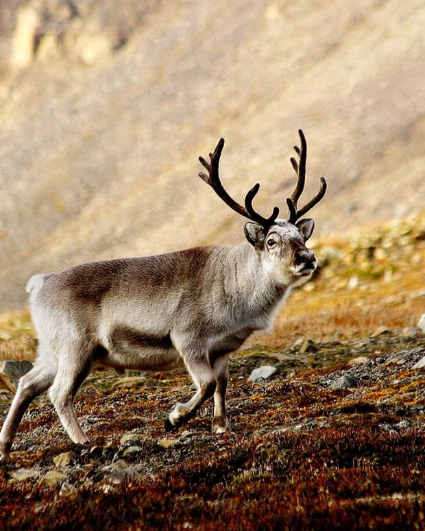 svalbard-reindeer-in-norway-facts-and-potential-problems