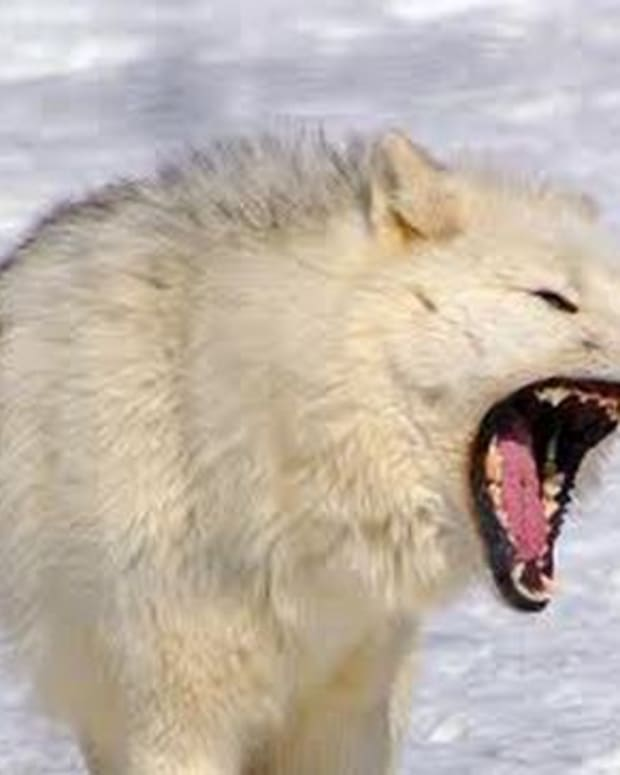 the-arctic-wolves