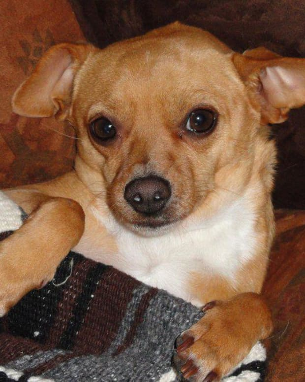 chihuahuas-care-and-maintenance-of-the-smallest-and-oldest-breed-of-dogs