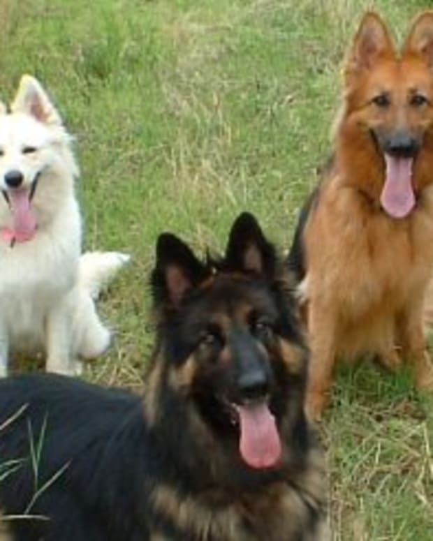 colors-of-german-shepherd-and-alsatian