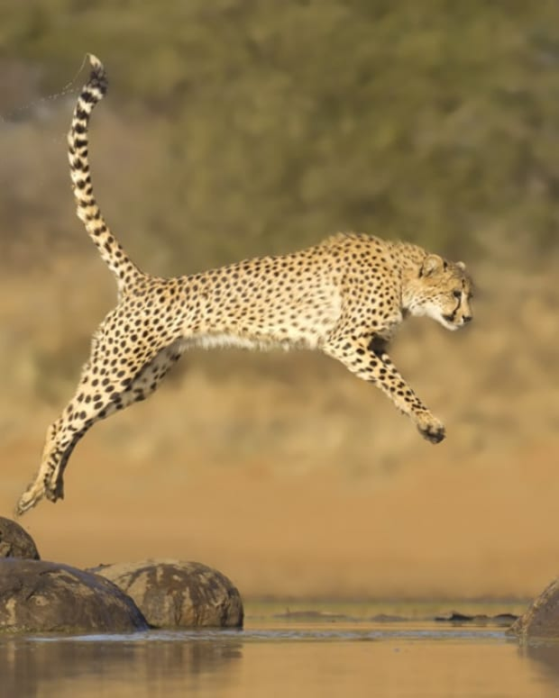 acinonyx-jubatus-the-cheetah