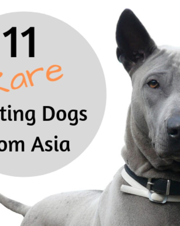 11-unrecognized-hound-dogs-from-asian-countries