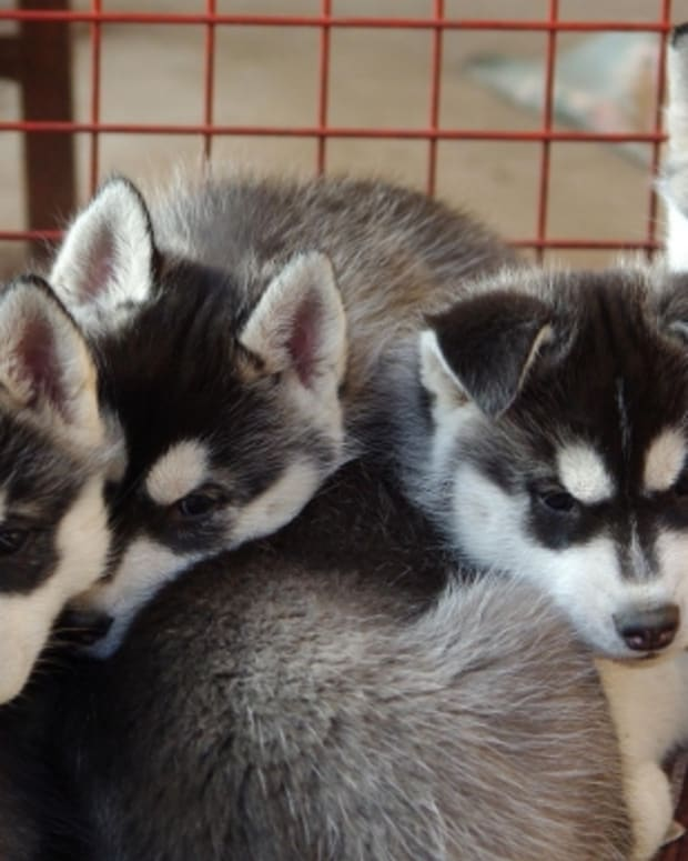 5-things-to-keep-in-mind-when-buying-a-purebred-puppy-from-a-breeder
