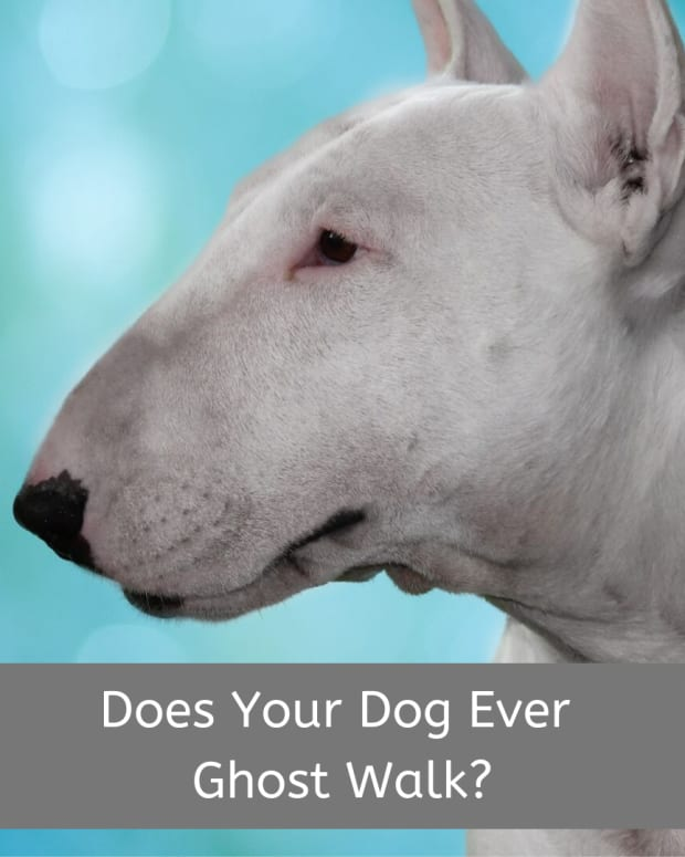 why-do-bull-terriers-and-some-other-dogs-ghost-walk