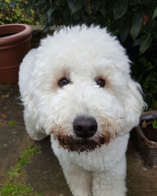 owning-a-labradoodle