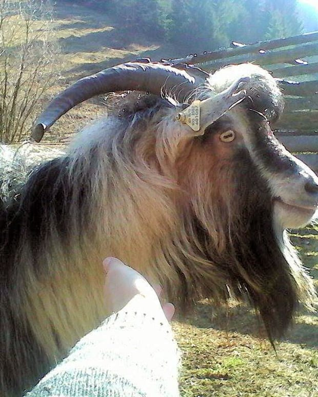 goats-farm-animals-that-make-great-pets