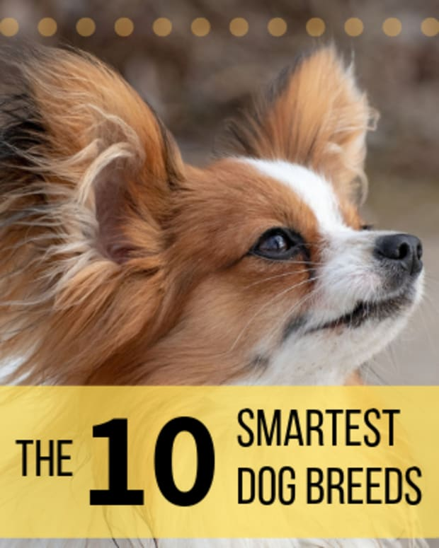 top-10-smartest-dog-breeds-list-and-information