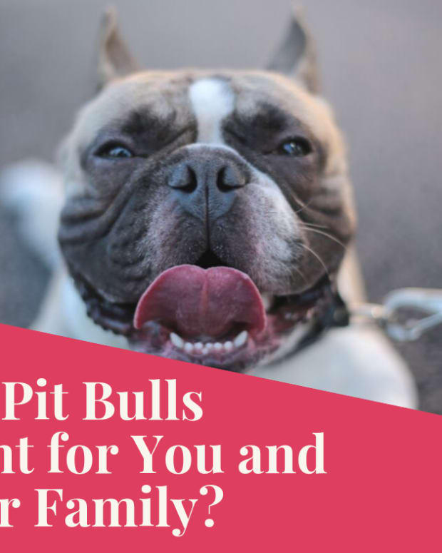 pitbulls-as-family-dogs